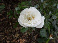 rose_weiss_wrmer.jpg